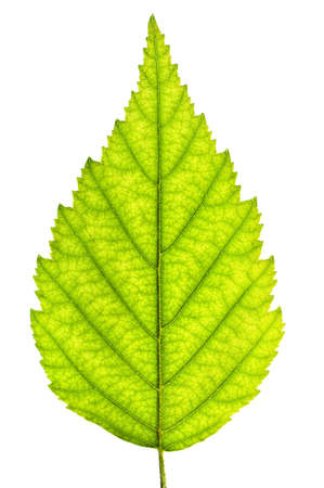 Green leaf close up isolated on white background Stock Photo - 3628559