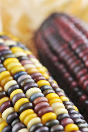 Two cobs of indian corn close up photo