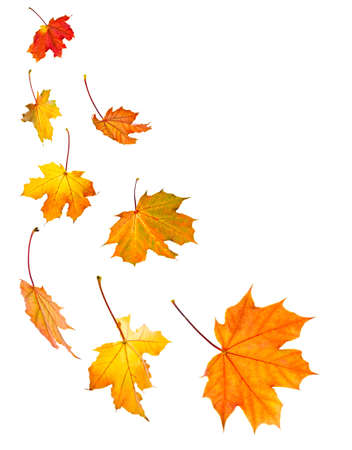leaves falling: Background of fall maple leaves isolated on white