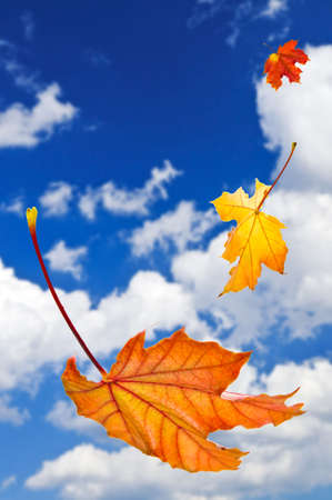 falling leaves: Fall maple leaves falling on blue sky background