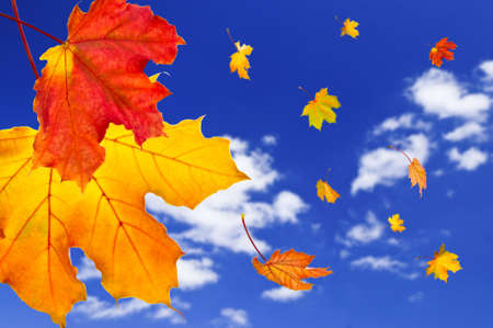 blown: Fall maple leaves falling on blue sky background