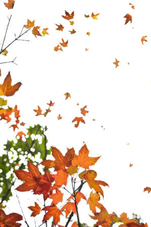 Background of fall maple leaves and tree branches photo