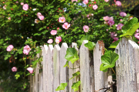 Garden fence with blooming roses and ivy photo