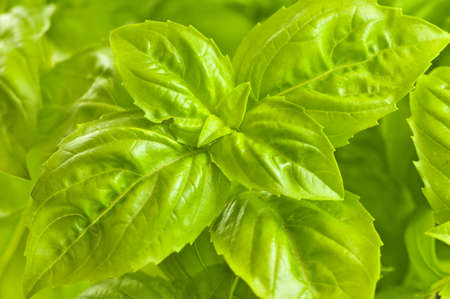 Fresh green basil close up isolated on white background Фото со стока