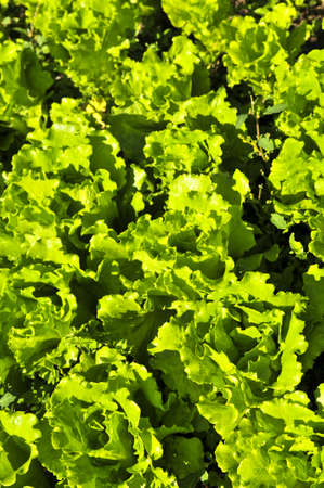 lettuces: Rows of green lettuces growing in a vegetable garden