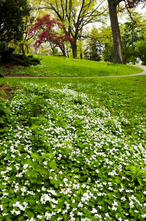 White canada violets blooming in a spring park photo