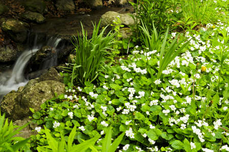 violets: White canada violets blooming in a spring forest near creek Stock Photo