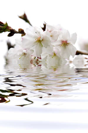 submerged: Branch of oriental flowering cherry with blossoms submerged in water