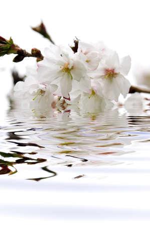 sumergido: Rama de la oriental con flores de cerezo en flor sumergidos en el agua