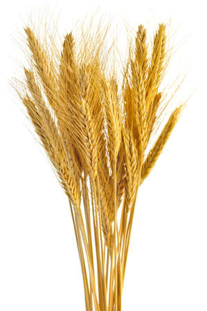 bundle: Stalks of golden wheat grain isolated on white background