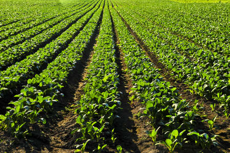 green's: Rows of turnip plants in a cultivated farmers field Stock Photo