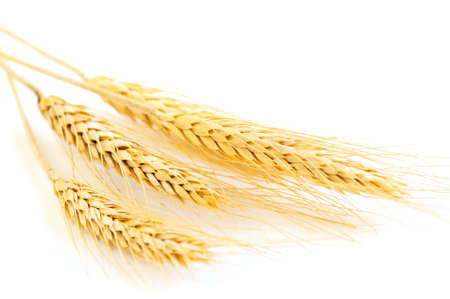 Stalks of golden wheat grain isolated on white background