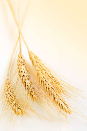 Ripe wheat ears close up with copy space Stock Photo - 4198091