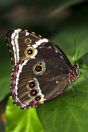 morpho menelaus: Hermosa mariposa azul morfo sentado en una planta