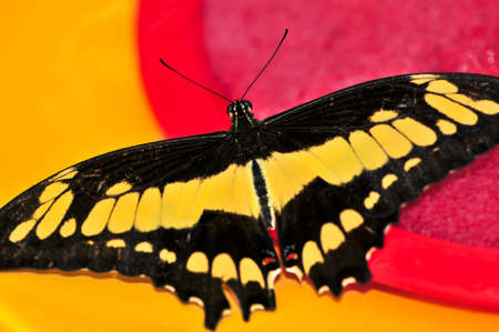 Giant swallowtail butterfly with open wings and yellow markings photo