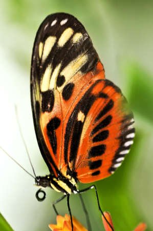 landed: Large tiger butterfly sitting on a flower Stock Photo