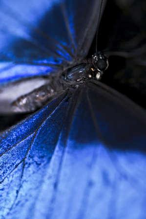 morpho menelaus: Closeup de un hermoso azul morfo butterly