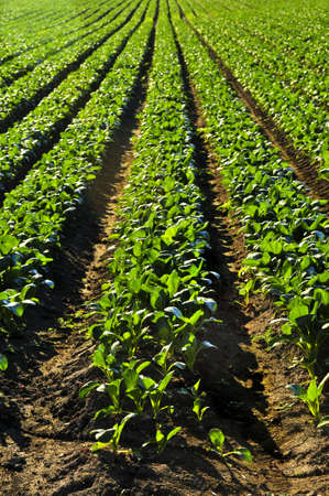 cultivated: Rows of turnip plants in a cultivated farmers field Stock Photo