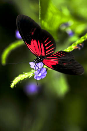 dora: Red heliconius dora butterfly on a flower