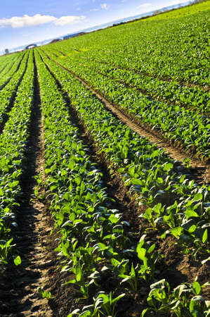 Rows of turnip plants in a cultivated farmers field Stock Photo - 4268027