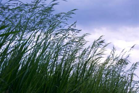 Seeding tall green grass closeup against foreboding sky photo