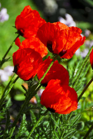 Closeup Profile of bright red poppies on sunny day Imagens