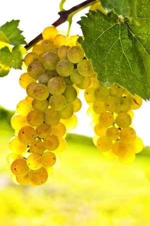 bunches: Yellow grapes growing on vine in bright sunshine