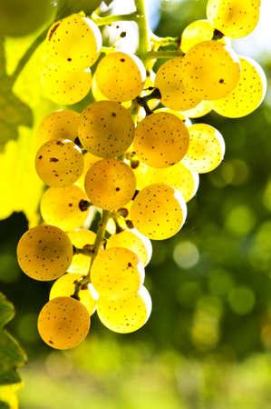 황색 포도 밝은 햇살에 포도 나무에 성장 스톡 콘텐츠 - 4441495