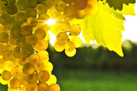 vine leaf: Yellow grapes growing on vine in bright sunshine