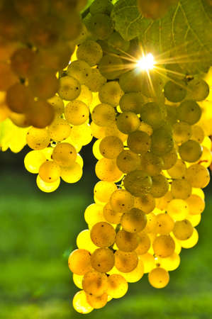 Yellow grapes growing on vine in bright sunshine photo
