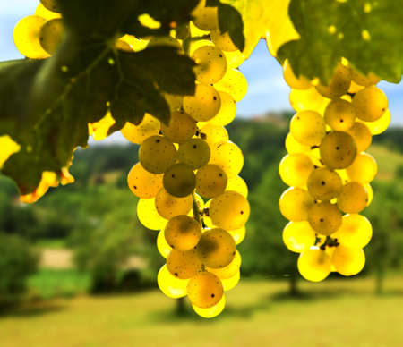 Yellow grapes growing on vine in bright sunshine