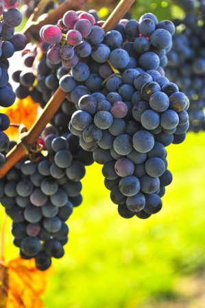 Purple grapes growing on vine in bright sunshine 스톡 콘텐츠