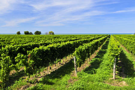 aisles: Rows of young grape vines growing in Niagara peninsula vineyard