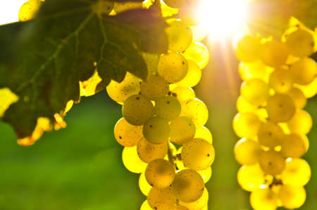bunch of grapes: Yellow grapes growing on vine in bright sunshine