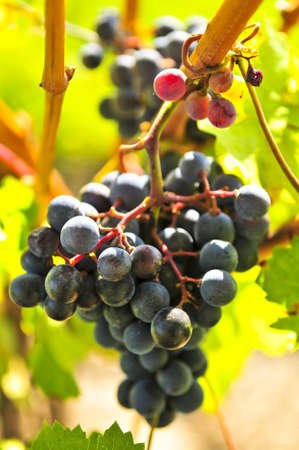 Red grapes growing on vine in bright sunshine