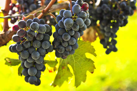 grape field: Red grapes growing on vine in bright sunshine