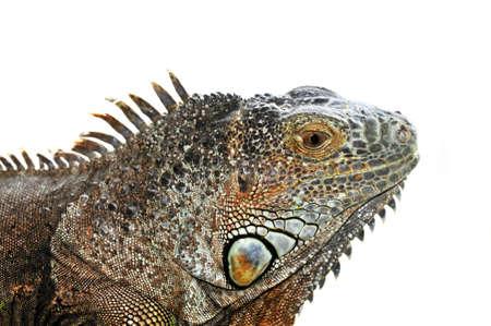 lagartija: Cerca de la cabeza de iguana verde en el fondo blanco