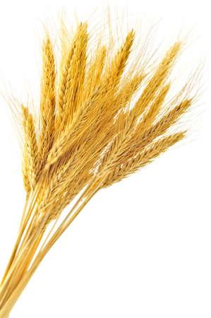 crop  stalks: Stalks of golden wheat grain isolated on white background