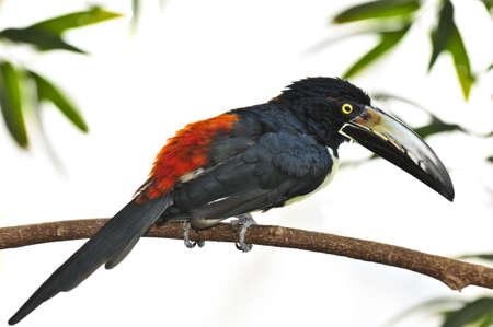 mandible: Collared Aracari toucan bird perched on branch Stock Photo