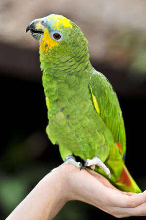 shouldered: Yellow shouldered Amazon parrot perched on hand Stock Photo