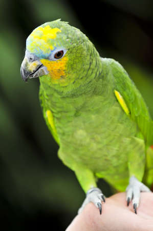Yellow shouldered Amazon parrot perched on hand photo