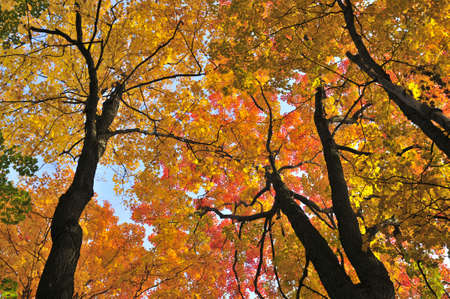 standalone: Beautiful maple trees with red foliage in early fall Stock Photo