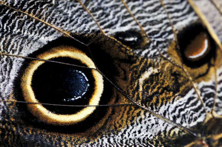 eyespot: Extreme closeup of owl butterfly wing spots