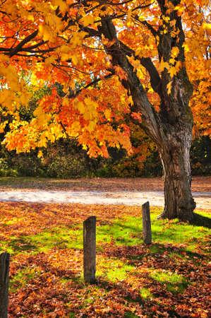Colorful fall maple tree near rural road photo