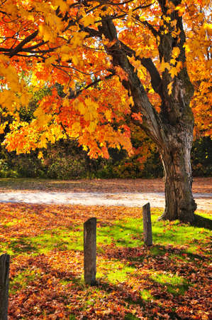 Colorful fall maple tree near rural road Stock Photo - 5139539