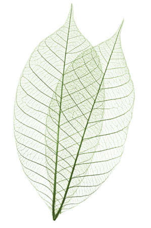 Closeup van de gedroogde bladeren rubberboom skelet