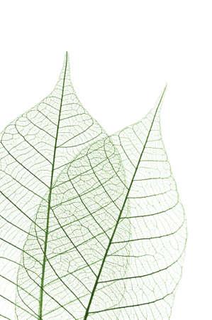 bladeren: Closeup van de gedroogde bladeren rubberboom skelet
