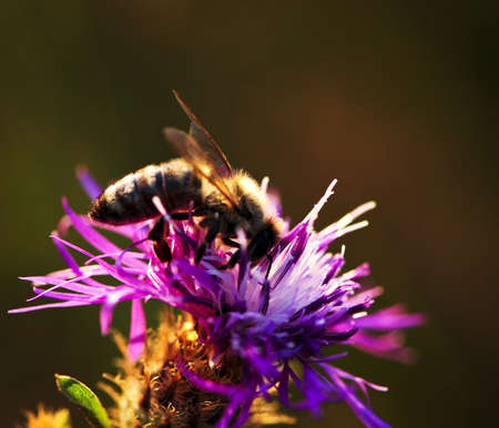 Close up of honey bee on knapweed flower photo