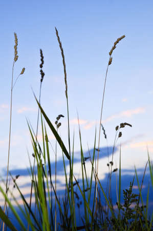 Seeding tall green grass in sunset meadow photo