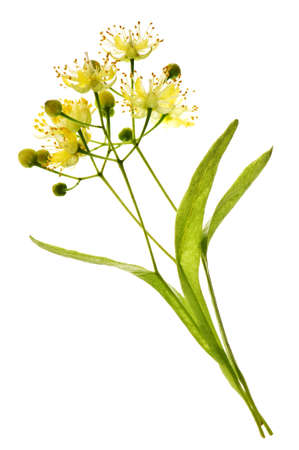tilo: Imagen aislado de flor de tilo amarillo y rama  Foto de archivo